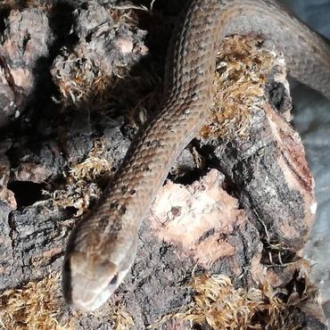 イナヅマヘビ コルク樹皮の上がお気に入り