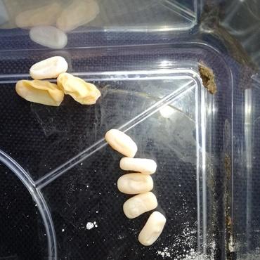 イナヅマヘビ 無精卵を産みびっくりした