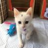 オッドアイの可愛い白猫チャン♡