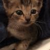 キジトラ保護猫(♀)里親さま決定しました