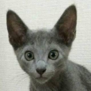 【6/18東日本橋】ロシアンブルー♡タカくん3ヶ月
