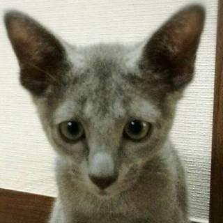 【6/18東日本橋】ロシアンブルー♡イッチーくん