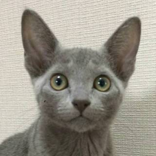 【6/18東日本橋】ロシアンブルー♡マヤちゃん