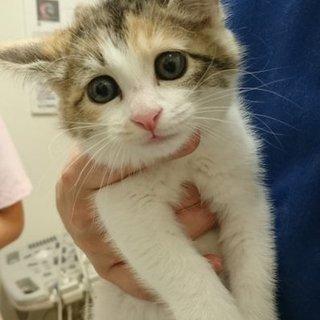 キュートな三毛子猫♀明るい性格です