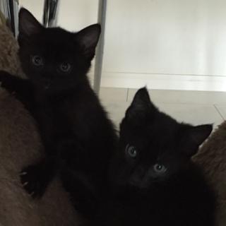 可愛い黒猫兄弟の家族を探しています。