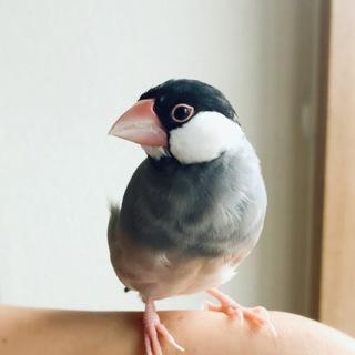 手乗り なつっこい桜文鳥/女の子