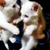 白猫の子猫2匹もう限界です!