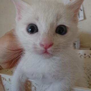 生後1ヶ月の元気な白猫のオスです