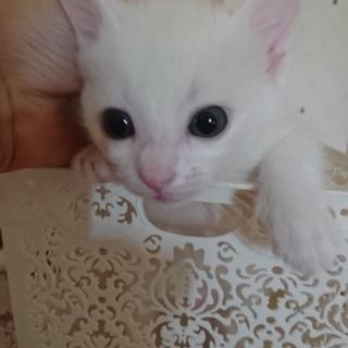 白猫の女の子♀ 生後1ヶ月