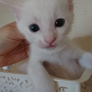 生後1ヶ月♂おっとり系の白猫のオス