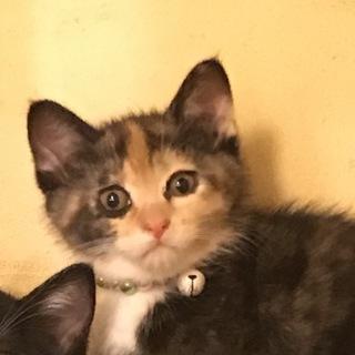 三毛の女の子マリーちゃん2ヶ月