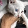 白猫オッドアイオス2匹の里親様募集