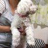 ビションフリーゼ、1才の可愛い女の子 サムネイル2