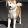 秋田犬の赤の男の子です