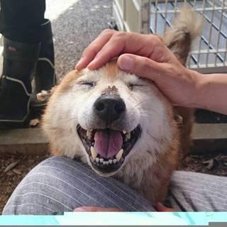 【命が繋がりました】健気で可愛い老柴犬