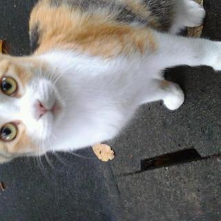 甘えん坊の三毛猫です。