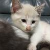 ブルーの瞳元気いっぱいの子猫家族募集!