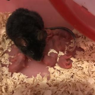 テディーマウスの赤ちゃん