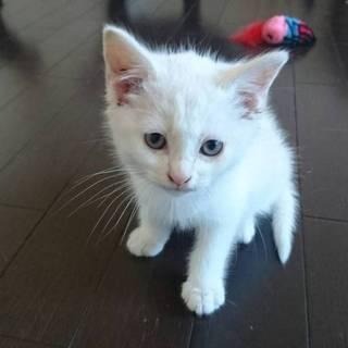 白猫オス2ヶ月