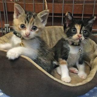 仲良し美猫三毛姉妹 一緒のご縁を探してます。