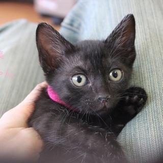 あまあま♡黒仔猫はなちゃん里親募集