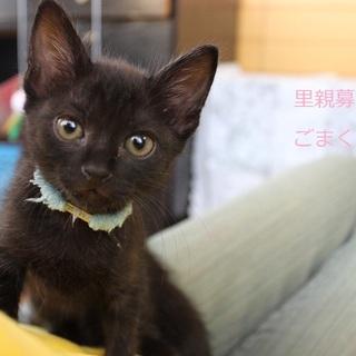あまあま♡黒仔猫ごまくん里親募集