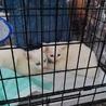 ♪真っ白でフワフワの可愛い仔猫姉妹です♪