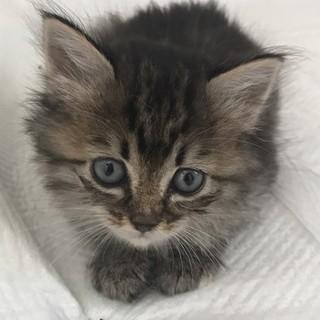 フワフワ子猫トイレOK★キジトラと三毛兄妹