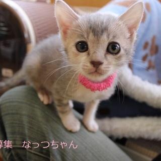 あまあま♡サバトラ仔猫なっつちゃん里親募集