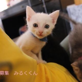 あまあま♡白仔猫みるくくんの里親募集