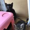里親決定。子猫2匹を保護中。黒猫と鯖柄猫