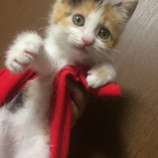 ぽんずちゃん 子猫☆メス☆三毛猫
