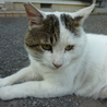 見た目に似合わず、人が大好きなドスコイ猫オヤビン サムネイル2