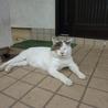 見た目に似合わず、人が大好きなドスコイ猫オヤビン サムネイル6