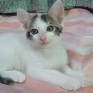 猫オス  2ヶ月☆ポイント柄 ペッパーくん