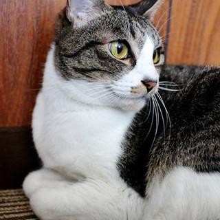 熊本被災猫 白キジのちえみちゃん 里親募集中!