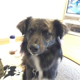 珍しい日本犬石垣島生まれの琉球犬mixです!