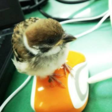 雀の雛です。一時間おきに餌をあげなきゃだったので毎日職場に連れて行きました(^^)