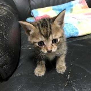 茶色いトラ柄の1ヵ月半の子猫^._.^