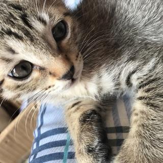 キジトラの子猫ちゃん