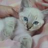 猫オス  2ヶ月☆MIXブルーアイ ソルトくん