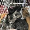 ☆キジ&黒猫☆可愛い4兄弟☆2匹で!☆