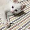 甘えん坊な白猫の子猫ちゃん♡