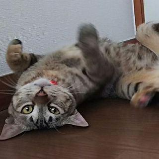 急募☆キジトラ1歳メス猫 里親募集