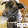 人気のトラ柄. 賢く愛らしい、3か月子犬3姉妹 サムネイル3