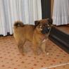 もこもこ可愛い、昭和風味の3か月子犬 サムネイル2