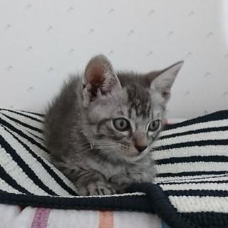 元気なグレーの子猫「グレイくん」