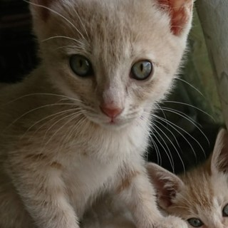 ベージュの子猫「ミルクちゃん」
