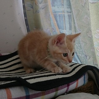 ベージュの綺麗な子猫「ペコちゃん」
