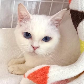 青い目の白猫☆朱(しゅん)ちゃん 5才